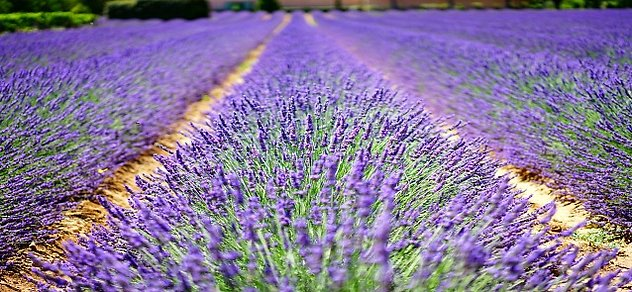 FAQ / Contact Me. Lavender Fields